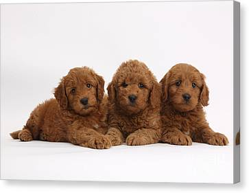 Three Cute Red F1b Goldendoodle Puppies Canvas Print