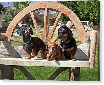Three Dachshunds Together On A Wooden Canvas Print