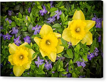 Three Daffodils In Blooming Periwinkle Canvas Print by Adam Romanowicz