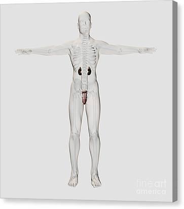 Three Dimensional Medical Illustration Canvas Print by Stocktrek Images