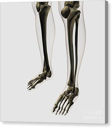 Three Dimensional View Of Human Leg Canvas Print by Stocktrek Images