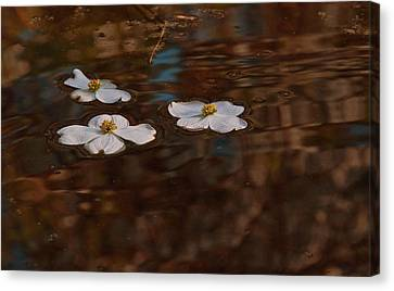 Canvas Print featuring the photograph Three Dogwood Blooms In A Pond  by John Harding