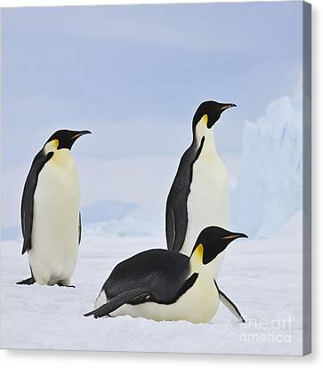Laying On Stomach Canvas Print - Three Emperor Penguins by Jean-Louis Klein and Marie-Luce Hubert