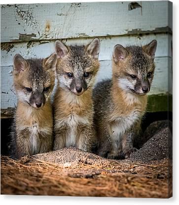 Three Fox Kits Canvas Print by Paul Freidlund