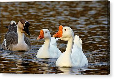 Three Geese Afloat  Canvas Print