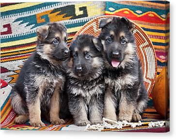 Three German Shepherd Puppies Sitting Canvas Print by Zandria Muench Beraldo