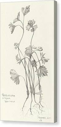Three Herbs - Parsley Canvas Print
