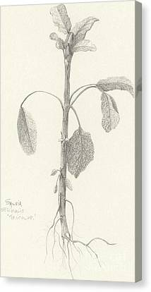 Three Herbs - Tricolor Sage Canvas Print