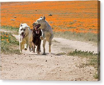 Three Labrador Retrievers Running Canvas Print by Zandria Muench Beraldo