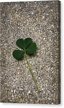 Three Leaf Clover Canvas Print