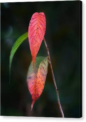 Three Leaves Of Fall Canvas Print by Brenda Bryant