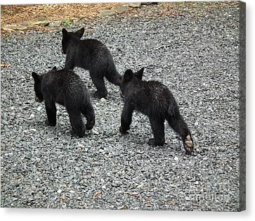Canvas Print featuring the photograph Three Little Bears In Step by Jan Dappen