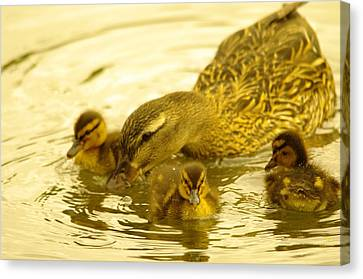 Three Little Duckies And Mom Canvas Print by Jeff Swan