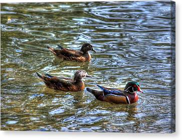 Three Mallard Ducks Canvas Print by Donald Williams