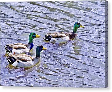 Three Mallard Musketeers Canvas Print by Bob and Nadine Johnston