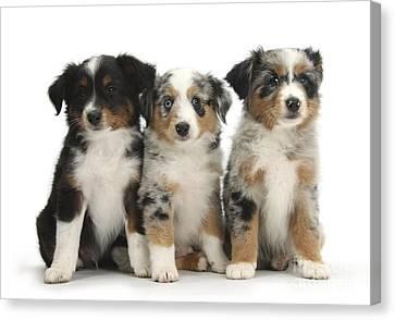 Three Mini American Shepherd Pups Canvas Print