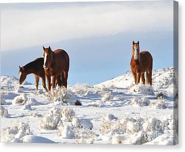 Three Mustangs In Snow Canvas Print by Vinnie Oakes