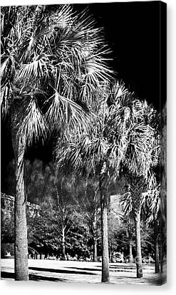 Three Palms In Charleston Canvas Print by John Rizzuto