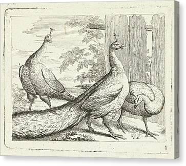 Three Peacocks, Peter Casteels IIi Canvas Print by Peter Casteels Iii