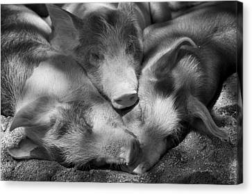 Three Piglets Sleeping Against Each Canvas Print by Patrick La Roque