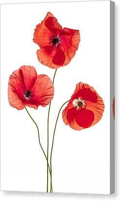 Three Poppy Flowers Canvas Print by Elena Elisseeva