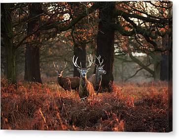 Reds Of Autumn Canvas Print - Three Red Deer, Cervus Elaphus by Alex Saberi