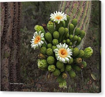 Three Saguaro Blossoms And Many Buds Canvas Print by Tom Janca