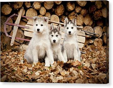 Three Siberian Husky Puppies Sit In Canvas Print by Jeff Schultz