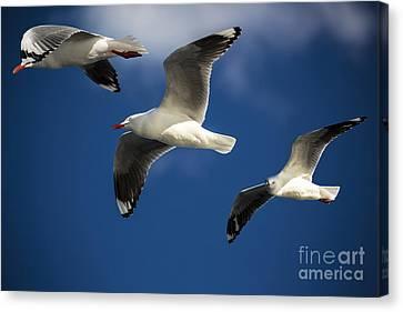 Three Silver Gulls In Flight Canvas Print by Avalon Fine Art Photography