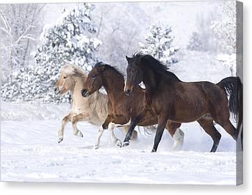Three Snow Horses Canvas Print by Carol Walker