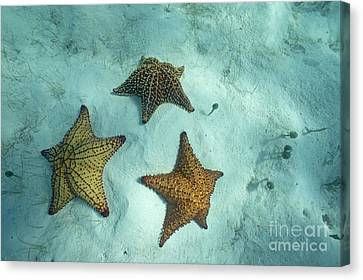 Three Starfishes On Sandy Seabed Canvas Print by Sami Sarkis