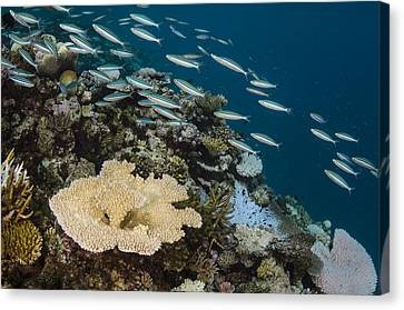 Caesionidae Canvas Print - Three-striped Fusiliers And Coral Reef by Pete Oxford