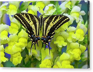 Tiger Swallowtail Canvas Print - Three-tailed Tiger Swallowtail by Darrell Gulin