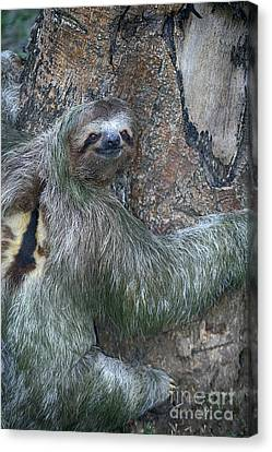 Three Toed Sloth Canvas Print by Anne Rodkin