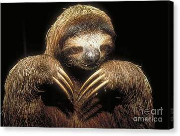 Three Toed Sloth Canvas Print