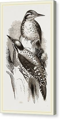 Three-toed Woodpeckers Canvas Print by Litz Collection