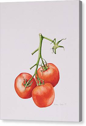 Three Tomatoes On The Vine Canvas Print by Alison Cooper