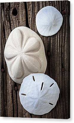 Three Types Of Sand Dollars Canvas Print by Garry Gay