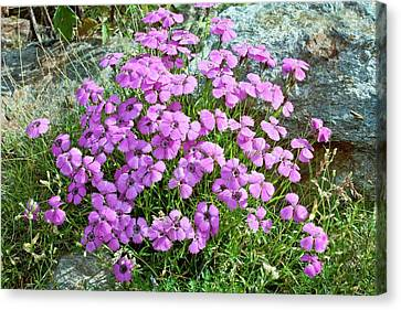 Pink Carnation Canvas Print - Three-veined Pink (dianthus Pavonius) by Bob Gibbons