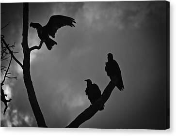 Canvas Print featuring the photograph Three Vultures by Bradley R Youngberg