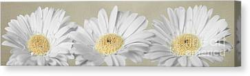 Three White Daisies Canvas Print by Eden Baed