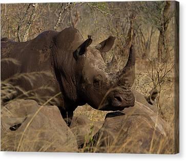 Three White Rhinoceros Ceratotherium Canvas Print by Panoramic Images