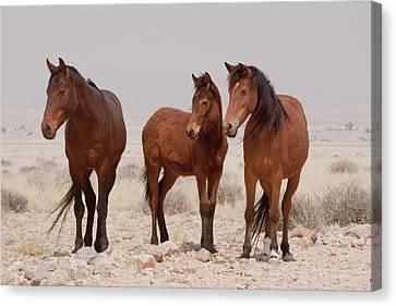 Three Wild Horses (equus Ferus Canvas Print by Jaynes Gallery