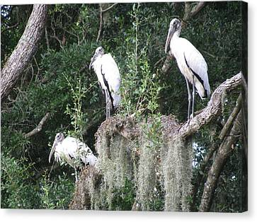 Three Wood Storks Canvas Print