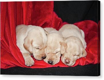 Three Sizes Canvas Print - Three Yellow Labrador Retriever Puppies by Zandria Muench Beraldo