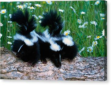Three Young Skunks On Log In Wildflower Canvas Print by Panoramic Images