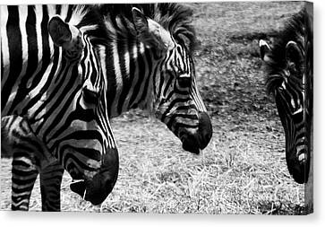 Canvas Print featuring the photograph Three Zebras by Tom Brickhouse