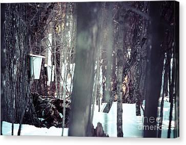 Through The Maples Canvas Print by Cheryl Baxter
