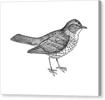 Thrush Bird Drawing Canvas Print by Christy Beckwith
