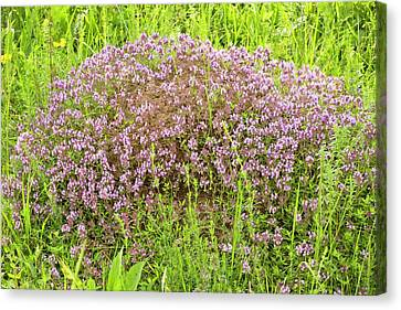 Thyme (thymus Glabrescens) On Anthill Canvas Print by Bob Gibbons